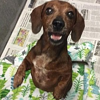 Adopt A Pet :: Lacy - Pearland, TX
