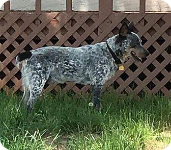 Blue Heeler Dog for adoption in Aurora, Colorado - Maverick