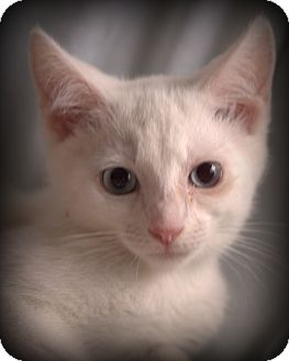 Domestic Shorthair Kitten for adoption in Spring Valley, New York - Blueberry