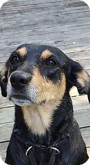 Shepherd (Unknown Type)/Coonhound Mix Dog for adoption in Overland Park, Kansas - Primrose