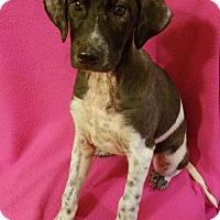 Adopt A Pet :: Ace ($200.00 Adoption fee) - Newark, DE