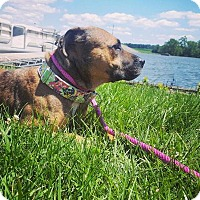 Staffordshire Bull Terrier Mix Dog for adoption in Poland, Indiana - Jasmine