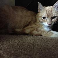 Domestic Shorthair Cat for adoption in Palm Desert, California - Sophie