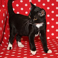 Adopt A Pet :: Whitskers (New Photos) - Marietta, OH