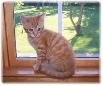 Domestic Shorthair Kitten for adoption in Brighton, Michigan - Grace