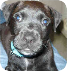 Labrador Retriever Mix Puppy for adoption in San Clemente, California - BRENT