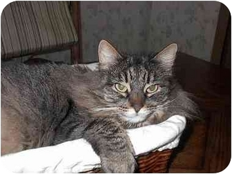 Maine Coon Cat for adoption in Davis, California - Bellamy
