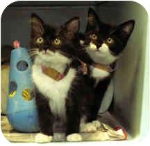 Domestic Shorthair Kitten for adoption in Milton, Massachusetts - Kittens!