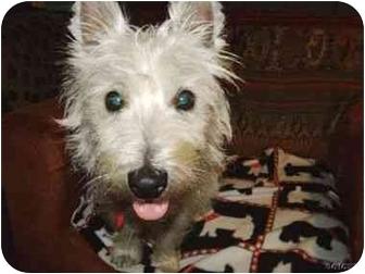 Westie, West Highland White Terrier Dog for adoption in Frisco, Texas - Casper Adopted