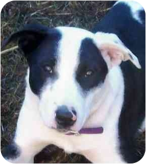 Border Collie/Australian Shepherd Mix Puppy for adoption in Sacramento, California - Ruby