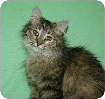 Domestic Mediumhair Cat for adoption in Ladysmith, Wisconsin - Tess