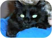 Domestic Longhair Cat for adoption in Merrifield, Virginia - Max