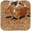 Photo 2 - Dachshund Dog for adoption in Ft. Myers, Florida - Mr French