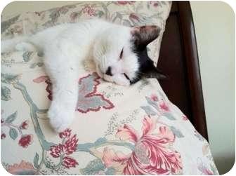Domestic Shorthair Cat for adoption in Narberth, Pennsylvania - Lola