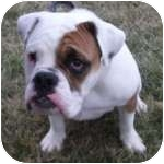 English Bulldog Mix Dog for adoption in Wheaton, Illinois - Otis