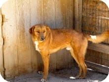 Golden Retriever/Labrador Retriever Mix Dog for adoption in Pie Town, New Mexico - RUSTLER