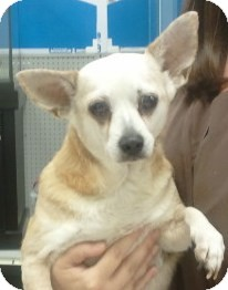 Chihuahua Mix Dog for adoption in Orlando, Florida - Blondie