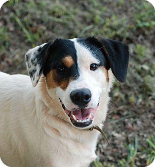 Labrador Retriever/Hound (Unknown Type) Mix Dog for adoption in Greensboro, Georgia - Jasper
