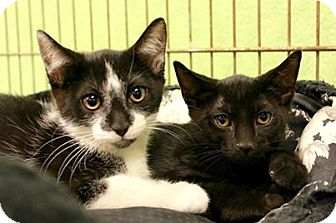 Domestic Shorthair Kitten for adoption in Collinsville, Oklahoma - Puma