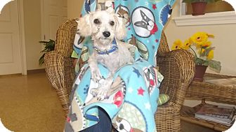 Poodle (Miniature)/Maltese Mix Dog for adoption in Marshall, Texas - Noodle