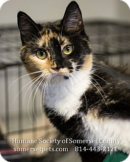 Domestic Shorthair Cat for adoption in Somerset, Pennsylvania - Calico