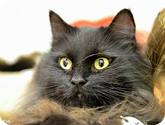 Domestic Mediumhair Cat for adoption in Martinsville, Indiana - Salem
