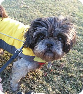 Shih Tzu Mix Dog for adoption in Homewood, Alabama - Lantana
