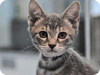 Domestic Shorthair Kitten for adoption in Long Beach, California - Peanut