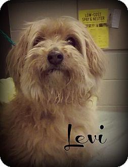 Pomeranian/Terrier (Unknown Type, Medium) Mix Dog for adoption in Defiance, Ohio - Levi