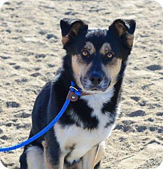Shepherd (Unknown Type)/Husky Mix Dog for adoption in Gardnerville, Nevada - VanGogh