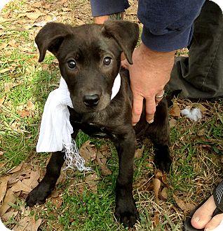 Labrador Retriever/American Staffordshire Terrier Mix Puppy for adoption in Conroe, Texas - Squish