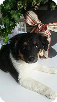 Border Collie Mix Puppy for adoption in waterbury, Connecticut - Blissa