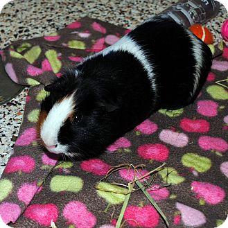 Guinea Pig for adoption in Aiken, South Carolina - Rio