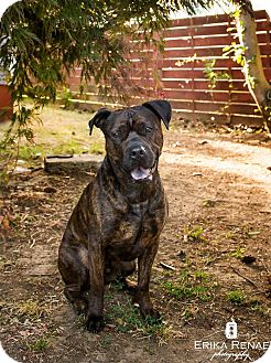 Pit Bull Terrier Mix Dog for adoption in Vancouver, Washington - Bagheera