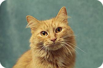 Maine Coon Kitten for adoption in Marietta, Georgia - Flame