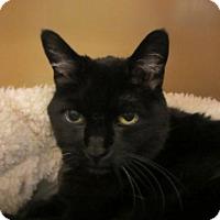 Adopt A Pet :: Shadow - Kingston, WA