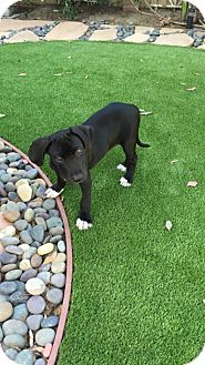 Labrador Retriever/Great Dane Mix Puppy for adoption in El Segundo, California - Rio