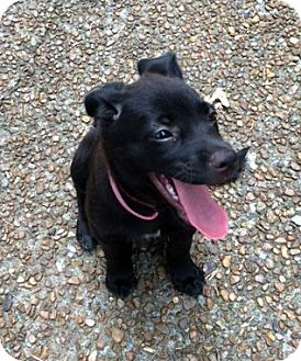 Terrier (Unknown Type, Small)/Labrador Retriever Mix Puppy for adoption in Baxter, Tennessee - Violet