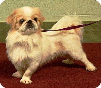 Pekingese Dog for adoption in Ada, Oklahoma - BRONSON