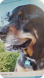 Rottweiler Dog for adoption in Yelm, Washington - Cheif