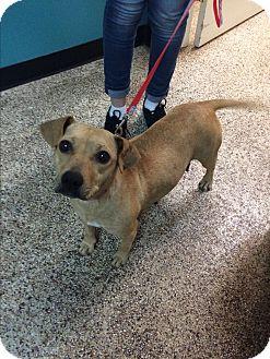 Beagle Mix Dog for adoption in Thousand Oaks, California - Indira