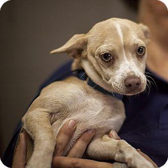 Chihuahua Mix Dog for adoption in Severance, Colorado - LOLA
