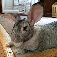 Adopt A Pet :: Topher - Holbrook, NY
