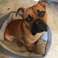 Adopt A Pet :: Gus - Troy, MI