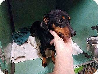 Dachshund Puppy for adoption in Lubbock, Texas - LUKA