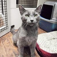 Adopt A Pet :: Saphira - Dublin, CA