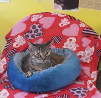 Domestic Shorthair/Domestic Shorthair Mix Cat for adoption in Henderson, Kentucky - Ashley