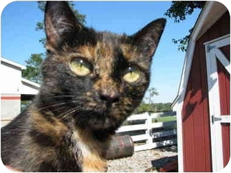 Manx Cat for adoption in Maxwelton, West Virginia - Sweetie