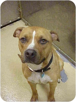 American Pit Bull Terrier Dog for adoption in Emory, Texas - Prince