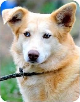 Golden Retriever/Australian Shepherd Mix Dog for adoption in Pawling, New York - CHABLIS